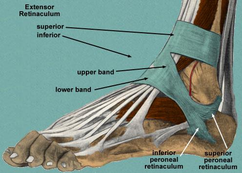 foot-retinaculum